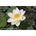 Kit light large lotus (White-Yellow)