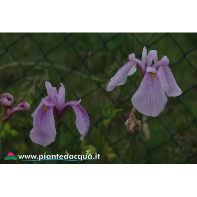"Iris Ensata ""Rose Queen"""