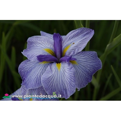 "Iris Ensata ""Flying Tiger"""