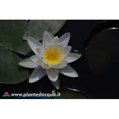 White waterlily kit