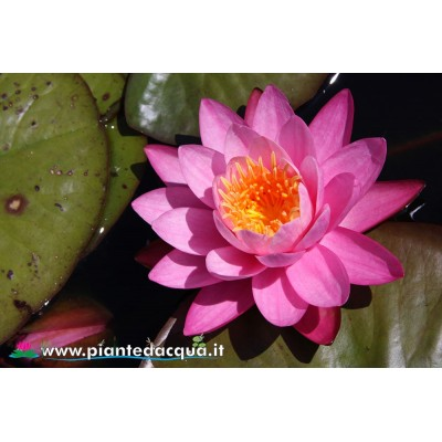 Pink waterlily kit