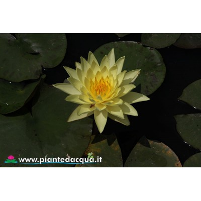 Yellow waterlily kit
