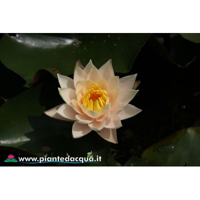 Peach waterlily kit