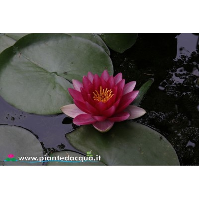 Red waterlily kit
