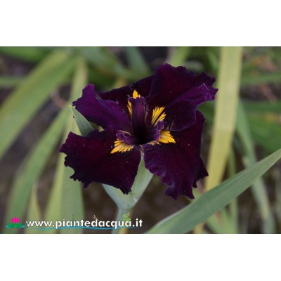 "Iris Louisiana ""Night Thunder"""