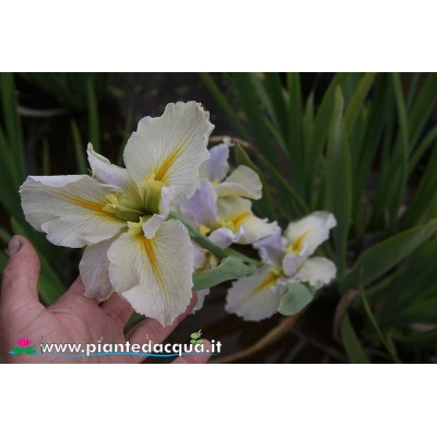 "Iris Louisiana ""Nutcote"""