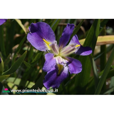 "Iris Louisiana ""King Creole"""