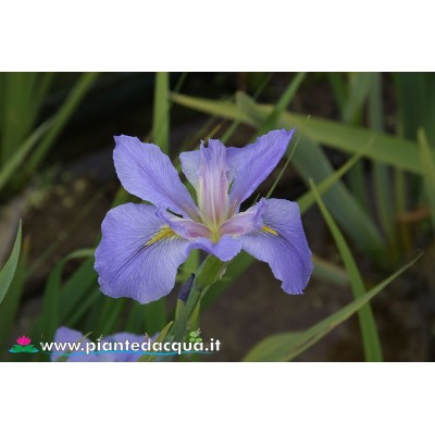 "Iris Louisiana ""Sea Whisp"""