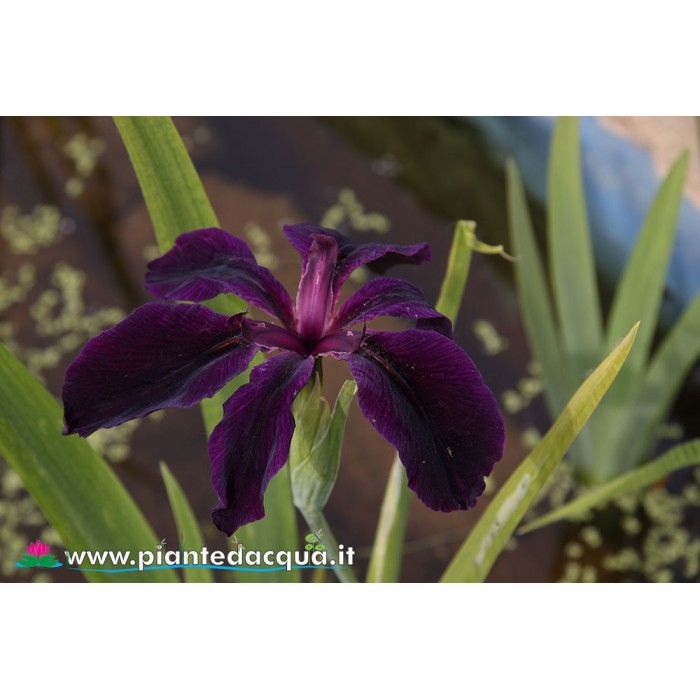 "Iris Louisiana ""Black Widow"""