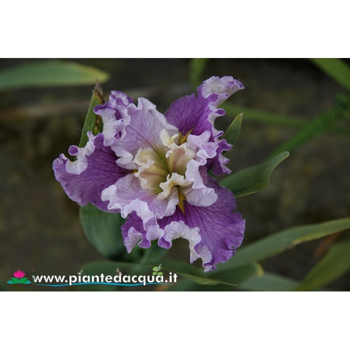 "Iris Louisiana ""Renee Fleming"""