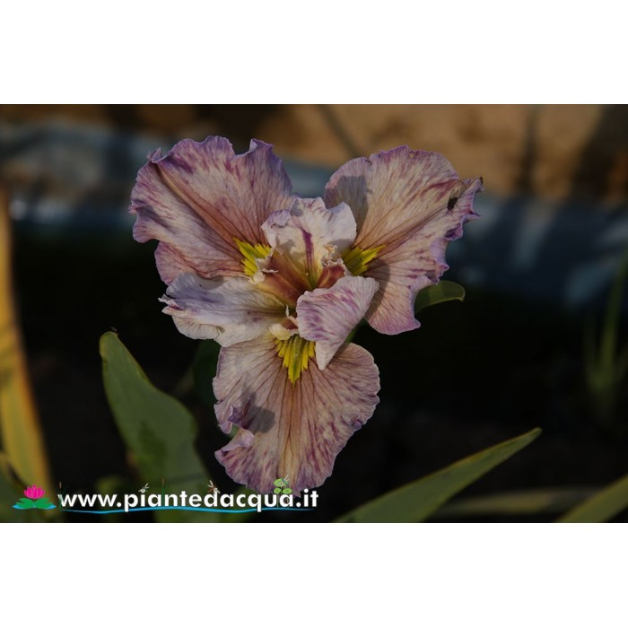 "Iris Louisiana ""Cherished One"""