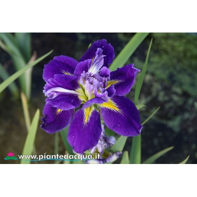 "Iris Louisiana ""Instant Replay"""