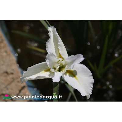 "Iris Louisiana ""Marie Delores"""