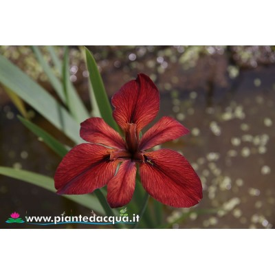 "Iris Louisiana ""Red Echo"""