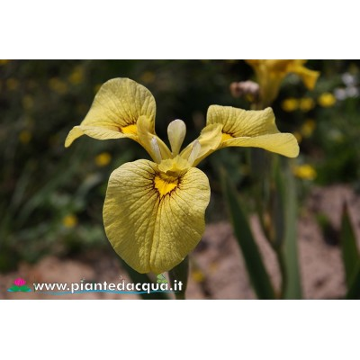 "Iris Pseudata ""Chance Beauty"""