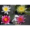 Waterlily without name