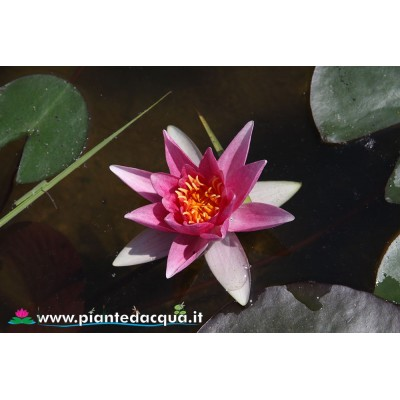 Waterlily Amabilis