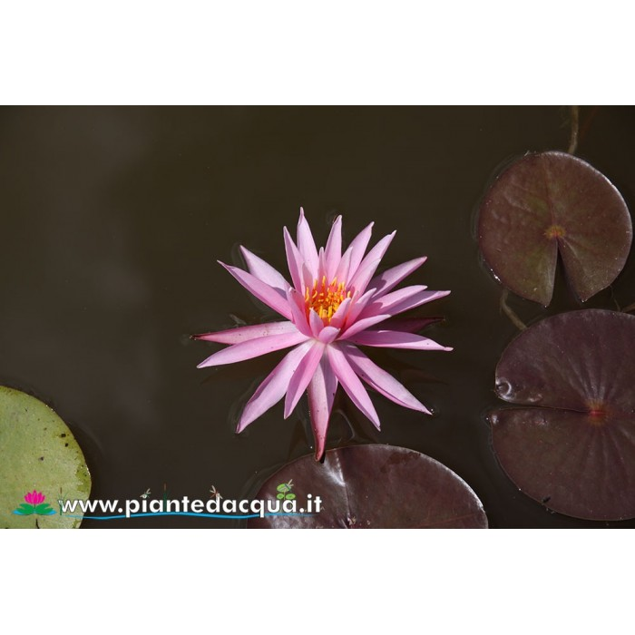 Waterlily American Star
