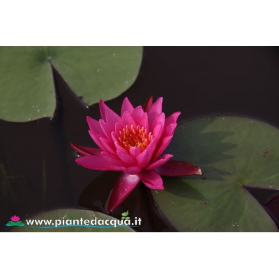 Waterlily Angelique
