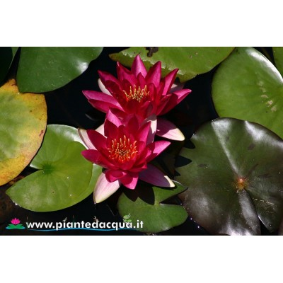 Waterlily Atropurpurea