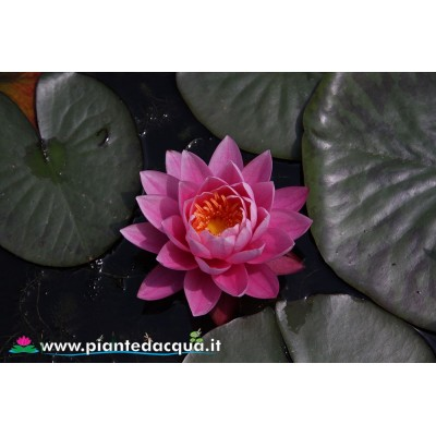 Waterlily Bernice Ikins