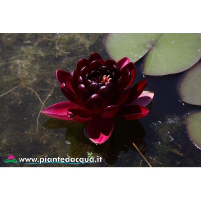 Waterlily Black Princess