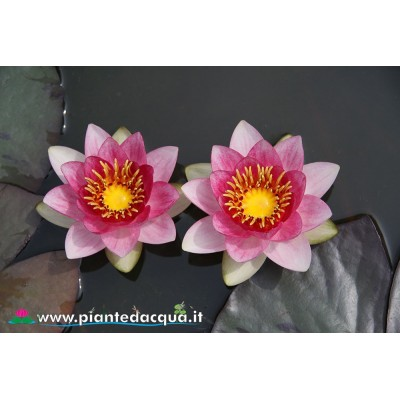 Waterlily Bory de Saint Vincent