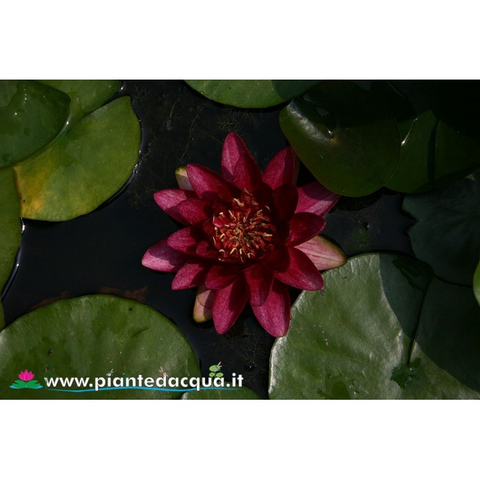 Waterlily Burgundy Princess