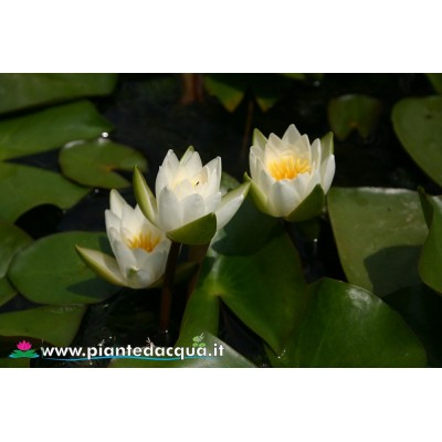 Waterlily Candida
