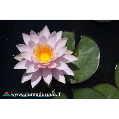 Waterlily Caroliniana