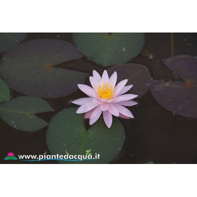 Waterlily Caroliniana Perfecta