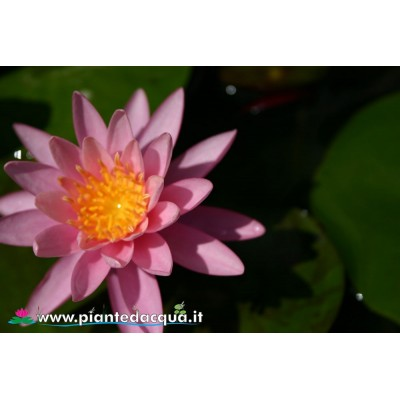 Waterlily Celebration