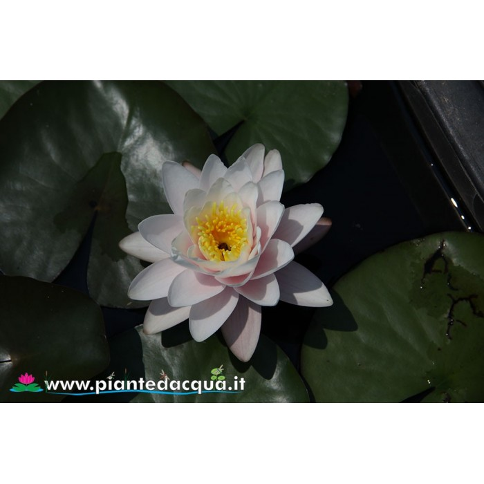 Waterlily Colossea