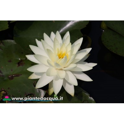 Waterlily Concordia