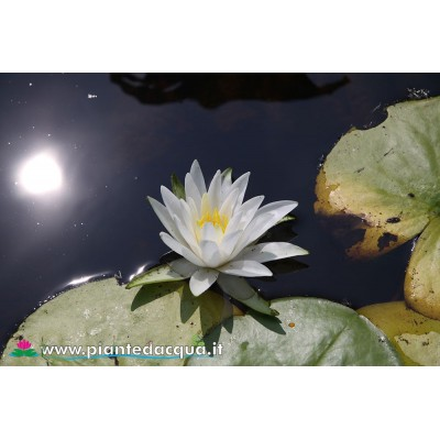 Waterlily Diana