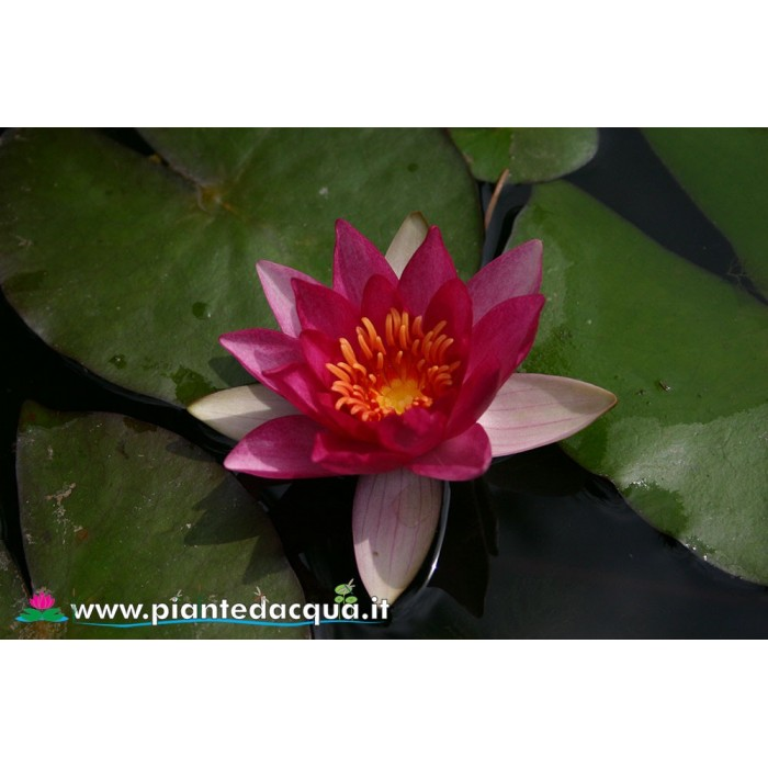 Waterlily Ellisiana