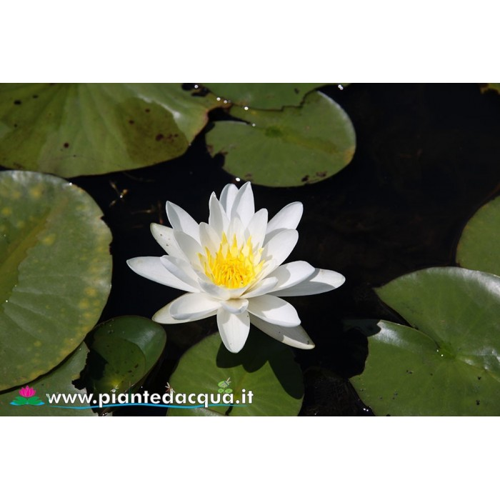 Waterlily Elysee
