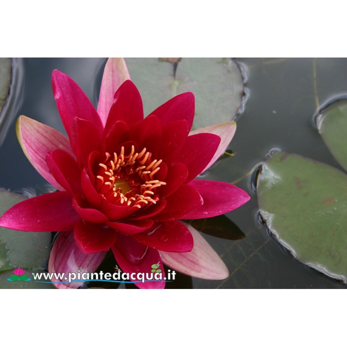 Waterlily Escarboucle