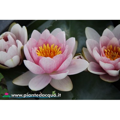 Waterlily Fabiola