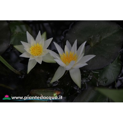 Waterlily Furio Ersetti