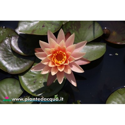 Waterlily Georgia Peach