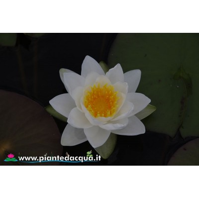 Waterlily Gladstoniana