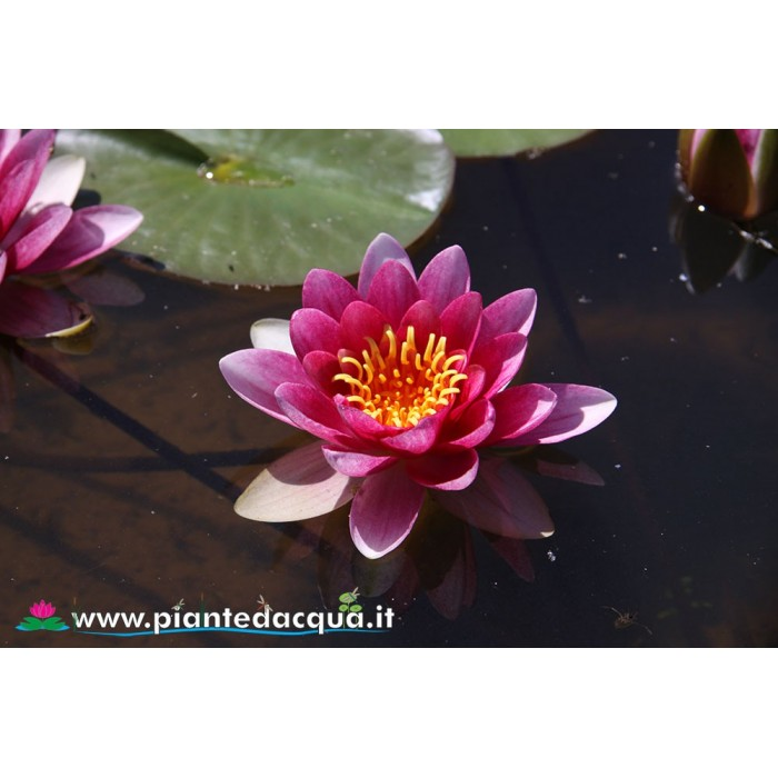 Waterlily Gloriosa