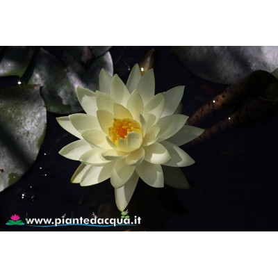 Waterlily Gold Medal