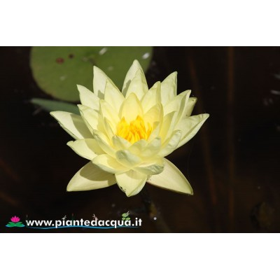 Waterlily Golden Plate