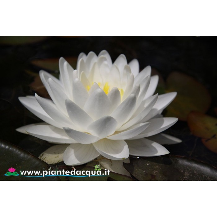 Waterlily Gonnere