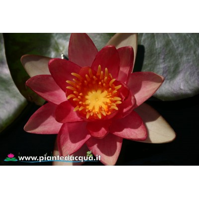 Waterlily Graziella