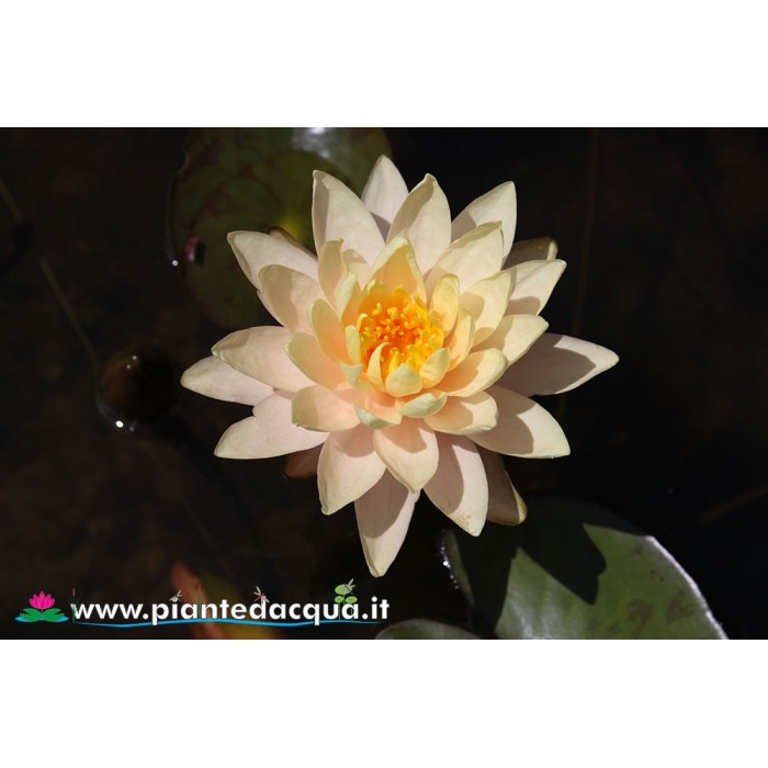 Waterlily Hawaiian Gold