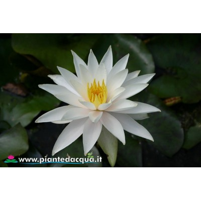 Waterlily Hazorea Dagan White