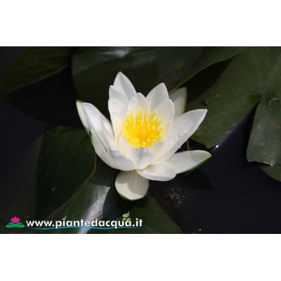 Waterlily Hermine